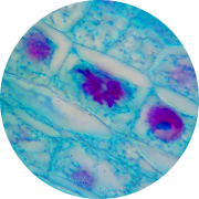 Les cellules souches adultes de moelle osseuses ne montrent aucun épuisement. Plus on en produit et plus elles migrent (grâce à SynerBoost ou SynerStem) et plus notre corps peut les utiliser pour se réparer et retrouver son bien-être.
